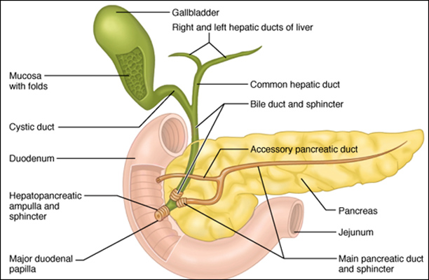 Human Gallbladder Location Human Thyroid Gland Location ...