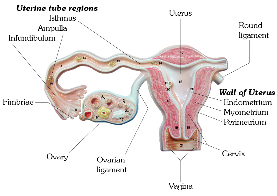 Female Reproductive Anatomy Model Front Model of FemaleFemale Reproductive System Model
