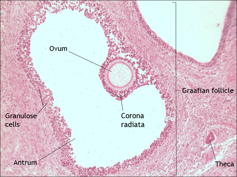 the gallery for gt graafian follicle histology