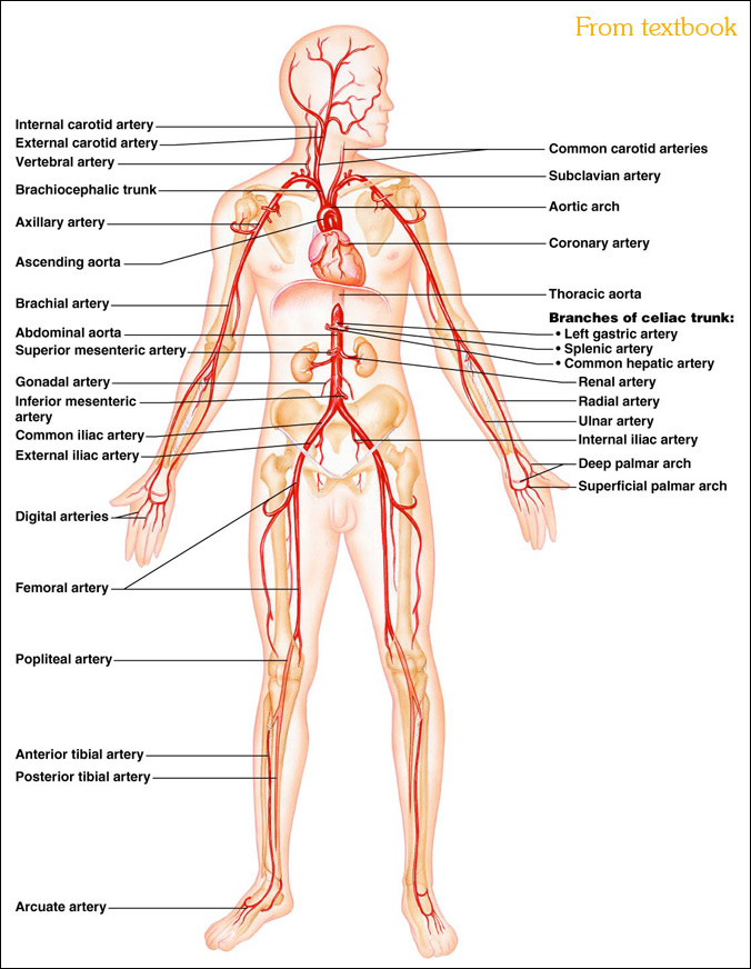 Pictures Of Major Arteries Of The Body 100